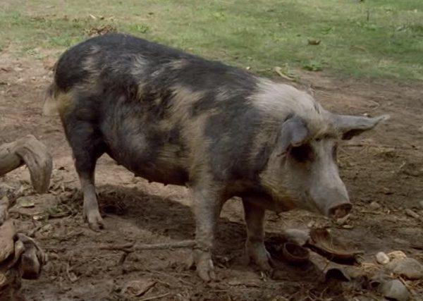 410685726-domestic-pig-polynesia-keeping-of-animals-production-animal
